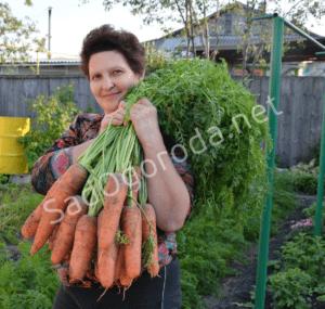 Как вырастить хорошую и крупную морковь