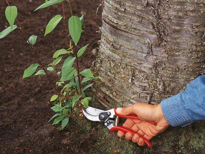 Черешня: что нужно сделать после сбора урожая
