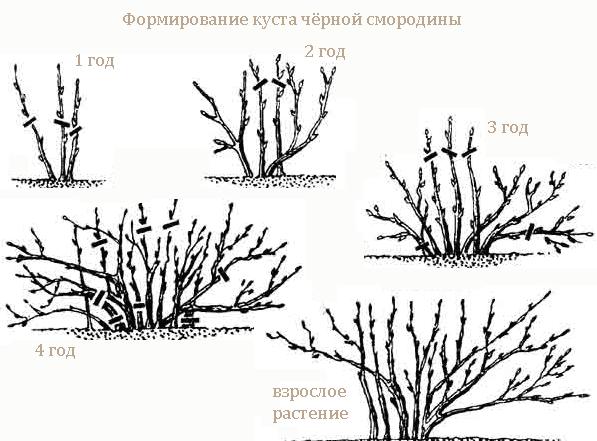 Чёрная смородина Пигмей:от посадки до сбора урожая