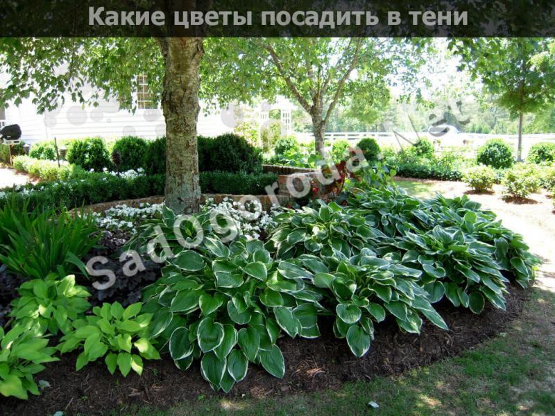 Что посадить в тени на огороде. Тенелюбивые растения