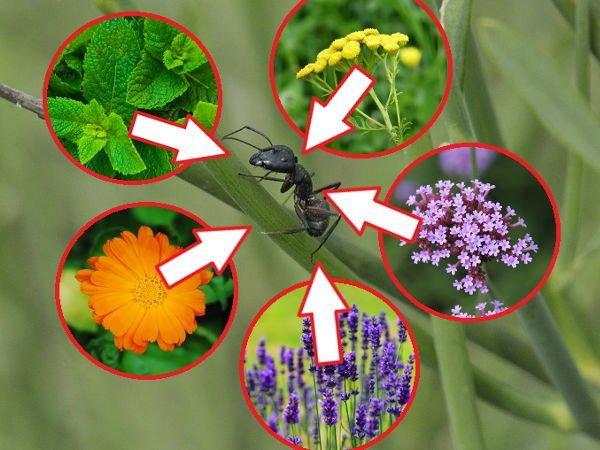 Как избавиться от муравьев: растения от муравьев