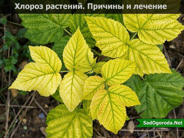 Причины и признаки хлороза листьев у растений, лечение готовыми препаратами и народными средствами