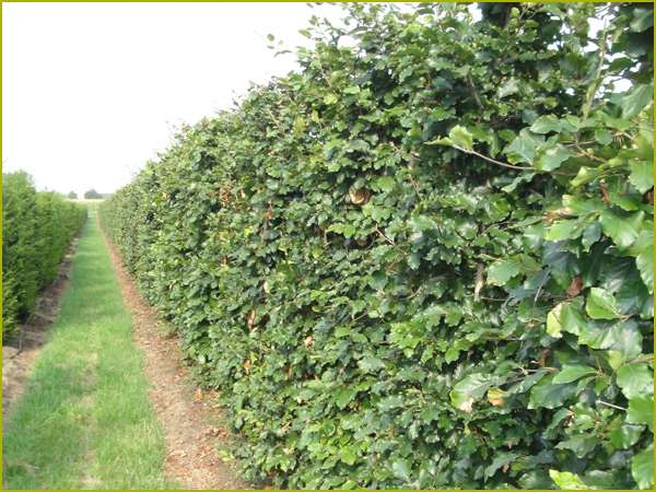 Растения для живой изгороди: фото и названия