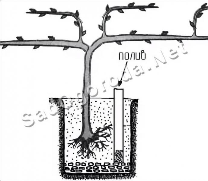 Посадка винограда черенками весной в грунт: методы выращивания