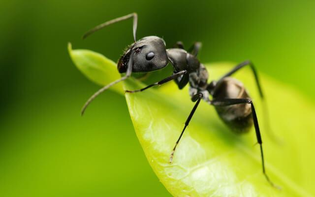 Эффективное хорошее средство от муравьев