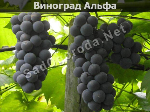 Виноград Альфа: описание сорта с фото, особенности ухода и выращивания