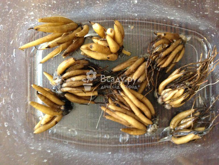 Ранункулюс - посадка и уход в открытом грунте и в домашних условиях