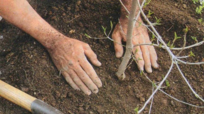 Груша сорта Любимица Клаппа: правила посадки и ухода за растением