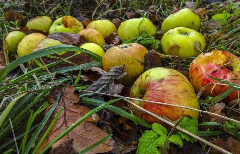 Яблоки и груши в компост: класть или нет?