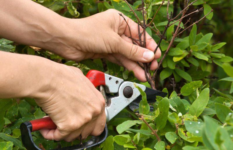 Как правильно обрезать жимолость съедобную весной, летом и осенью