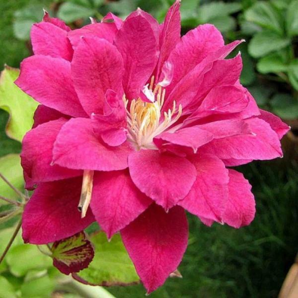 Клематис Ред Стар: звезда на садовом участке