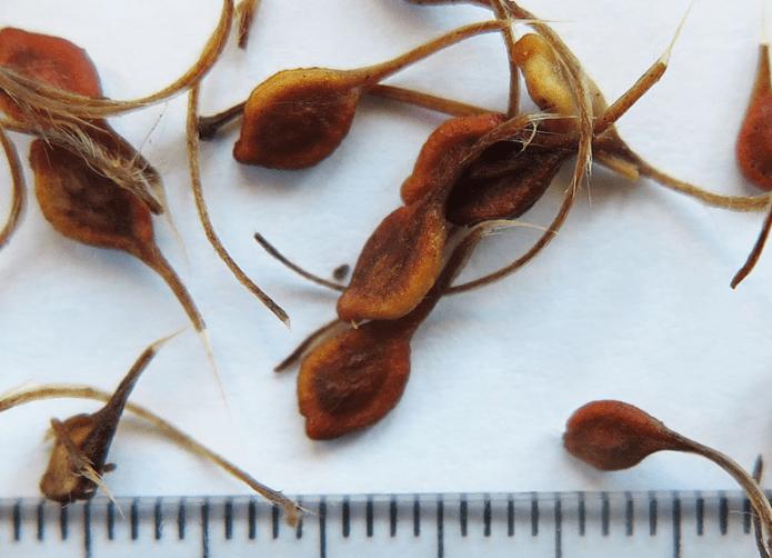 Клематисы из семян: вырастить сложно, но вполне возможно