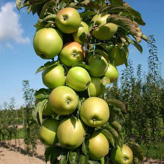 Колонновидная яблоня Президент: компактный плодовый сад на шести сотках