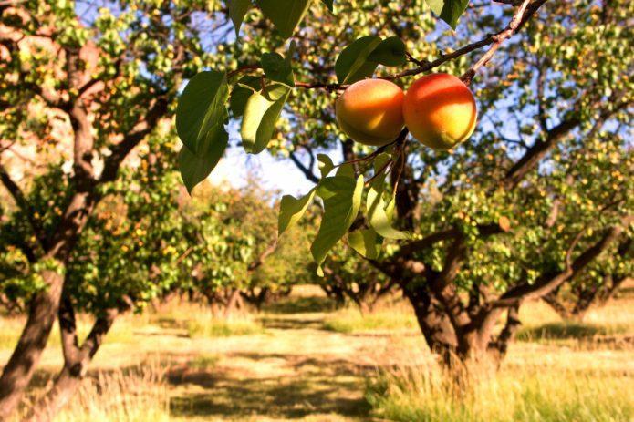 Один в поле воин: самоплодные сорта абрикоса