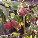 Осенние сорта груш: основные представители вида по регионам и правила агротехники
