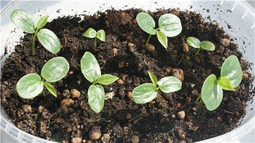Пассифлора — всё о выращивании страстоцвета дома