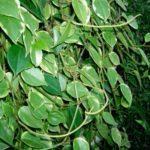 Пеперомия в комнатном цветоводстве: особенности посадки и ухода за тропической красавицей