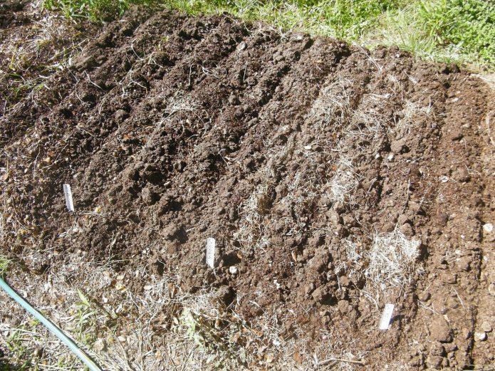 Подзимняя посадка щавеля — ранняя витаминная зелень для зелёных щей