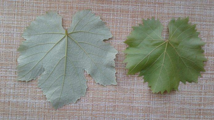 Польза виноградных листьев и 4 рецепта долмы на любой вкус
