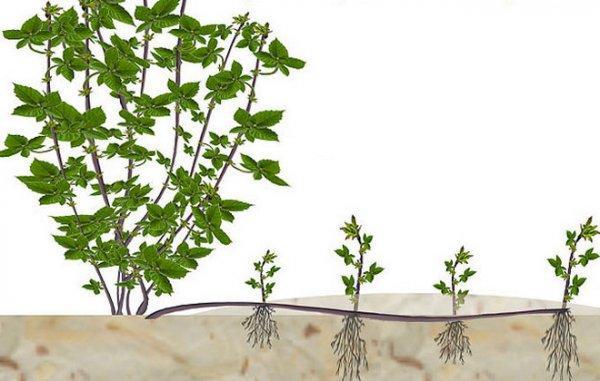 Размножение ежевики осенью: обзор методов
