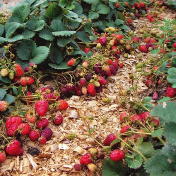 Ремонтантная клубника: особенности культуры и правила агротехники