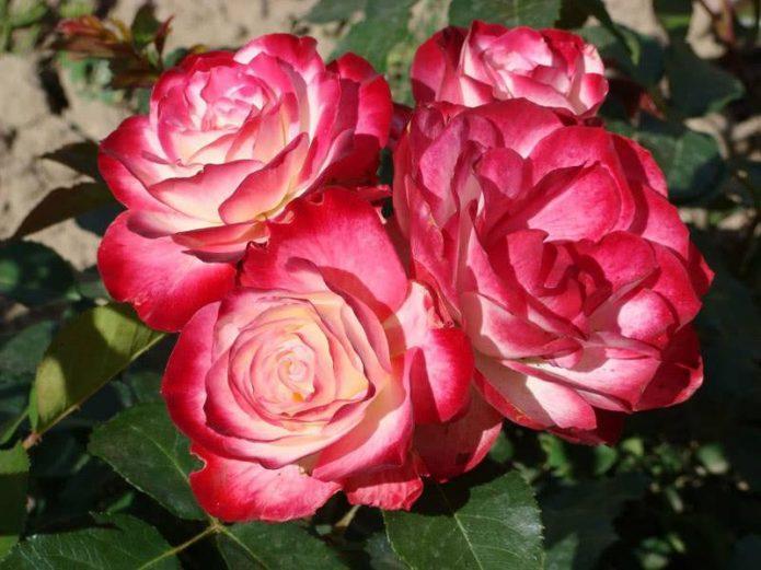 Роза Принц Монако: флорибунда с градиентной окраской лепестков
