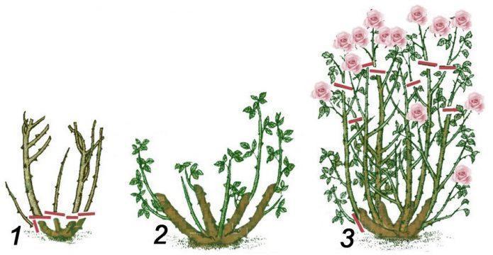 Роза Рэд Интуишн: чайно-гибридный сорт с цветками «тигровой» окраски