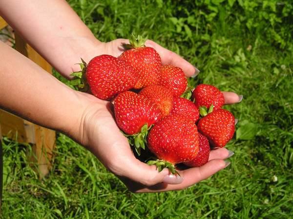 Садовая земляника Альбион – особенности сорта, посадка, размножение, уход