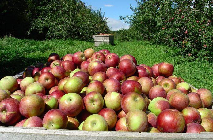 Сладости незанимать: обзор самых сладких сортов яблок