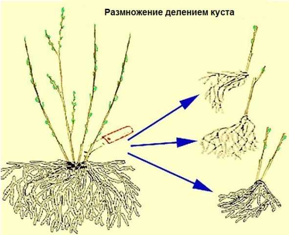 Способы размножения клематисов