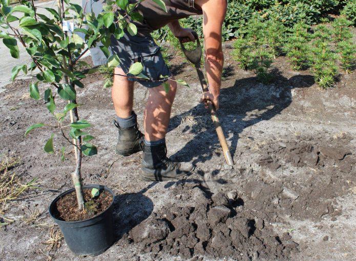 Сроки посадки яблонь в разных регионах, в том числе по лунному календарю