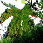 Виноград Аркадия: ароматный высокоурожайный сорт