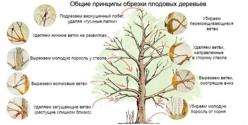 Вишня Харитоновская: компактная и плодородная красавица в саду