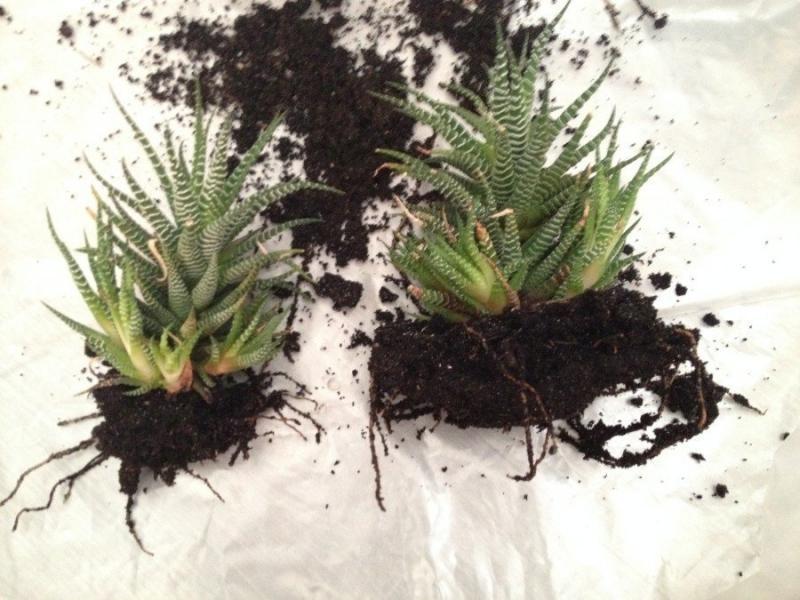 Выращиваем хавортию в домашних условиях: рекомендации по посадке и уходу