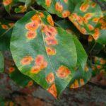 Зелёная, но очень вкусная груша Августовская роса: особенности ухода