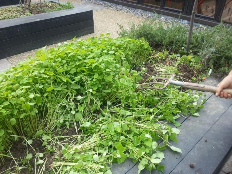 Проволочник в огороде: как избавиться навсегда, как бороться