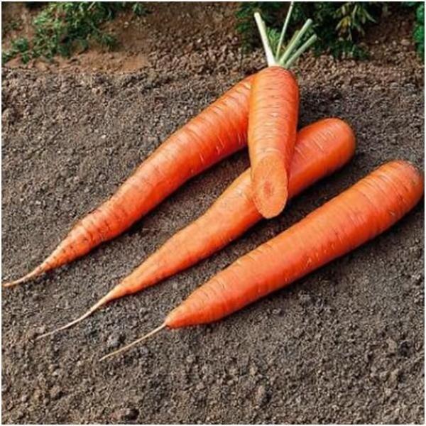 Самые лучшие сорта моркови для хранения на зиму
