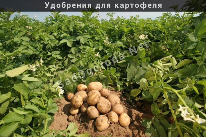 Удобрения для картофеля при посадке: как и чем можно удобрять, что можно добавить в лунку