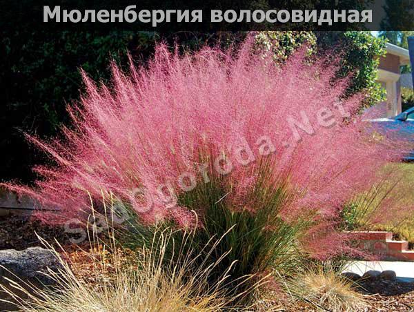 Мюленбергия волосовидная: посадка и уход. Выращивание из семян
