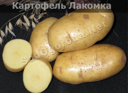 Посадка картофеля семенами: особенности и технология