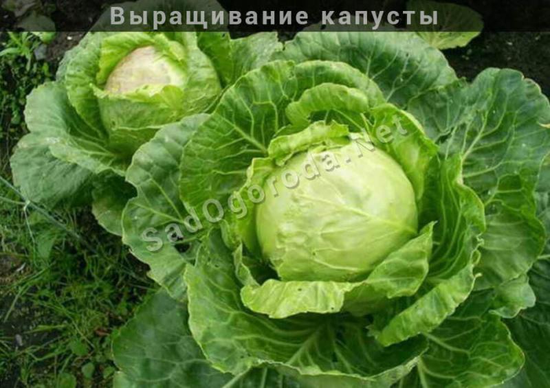 Правила выращивания белокочанной капусты в открытом грунте