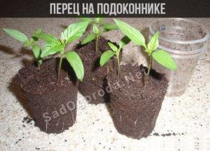 Горький перец на подоконнике: как вырастить в горшке, уход, сорта