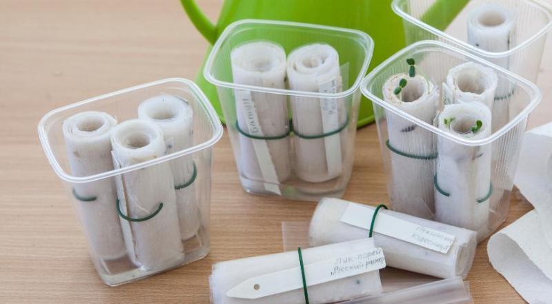 Простые способы  наклеить семена моркови на туалетную бумагу для посадки