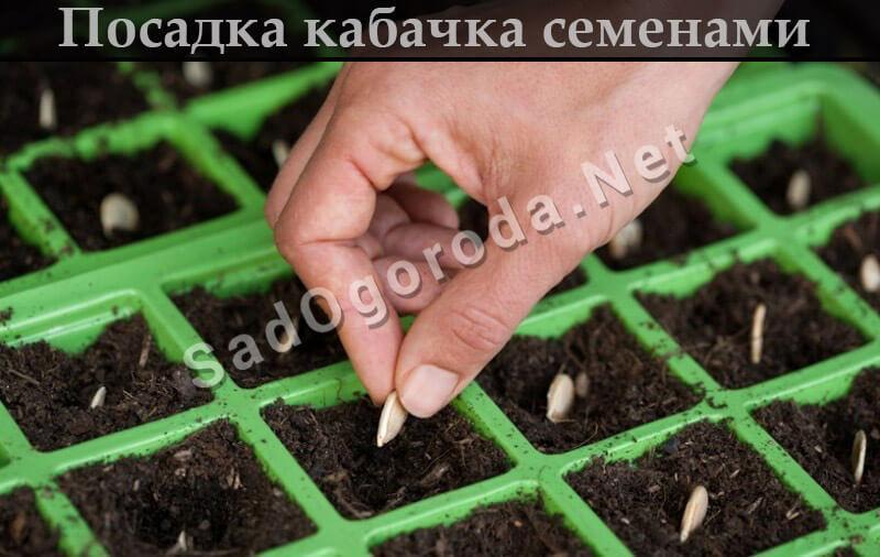 Как правильно сажать кабачки семенами в открытый грунт
