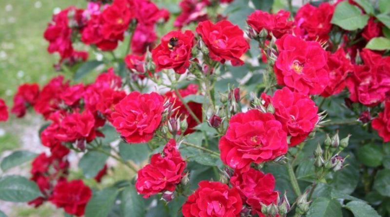 Как правильно посадить розу Флорибунда