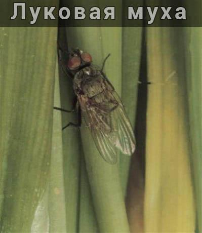 Как избавиться от луковой мухи на своем участке
