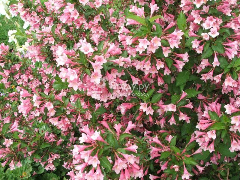 Уход за вейгелой в саду для обильного цветения кустарника