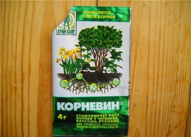 Денежное дерево (толстянка, крассула): как размножить без проблем
