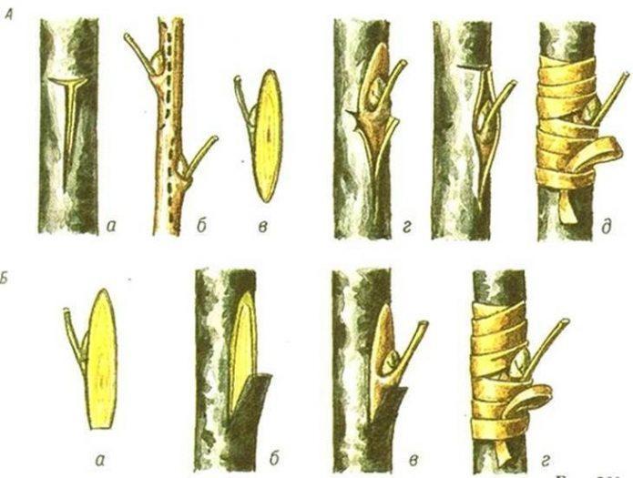 Домашнее манго: как вырастить деревце из косточки и привить его