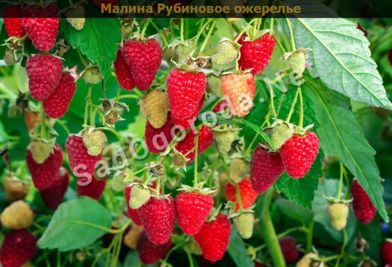 Лучшие сорта ремонтантной малины с высокой урожайностью